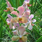 Ferme d'orchidées Udon Sunshine