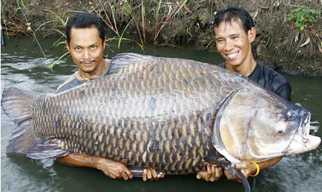 Carpe de 120 kg pêchée en Thailande