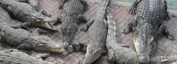 Ferme de-crocodiles à Samutprakarn