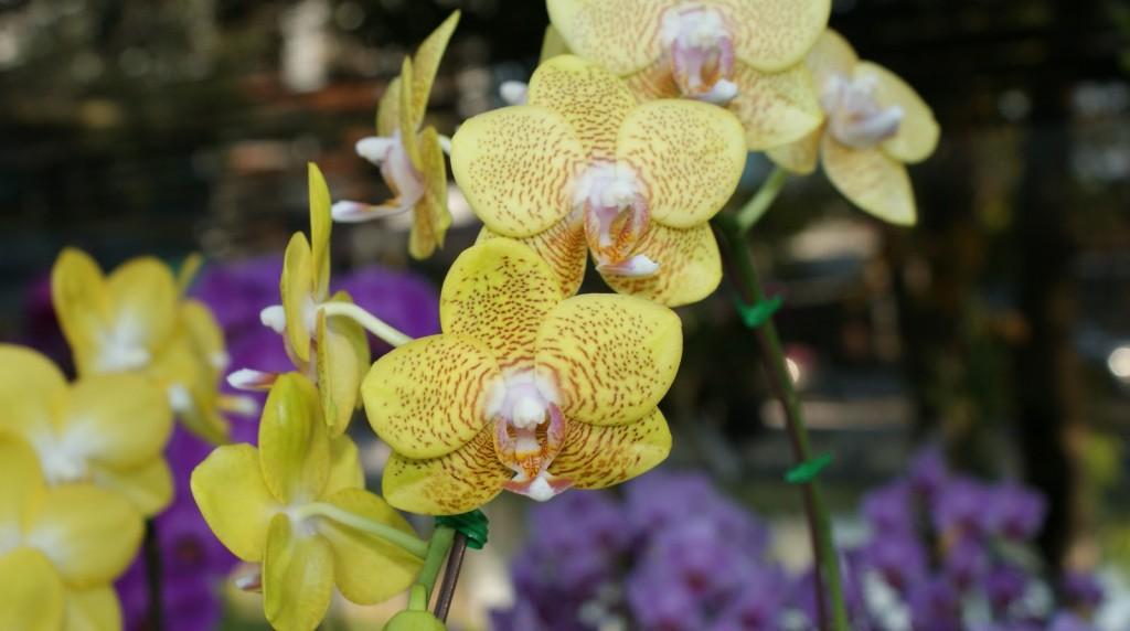 Jolie fleur à Chiang Mai