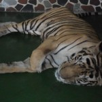 Un tigre au Zoo de Samutprakarn