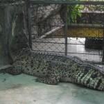 Crocodile à la ferme de Samutprakarn