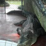 Crocodile au Zoo de Samutprakarn