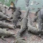 Crocodiles dans la ferme de Samutprakarn