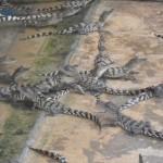 Des bébés crocodiles