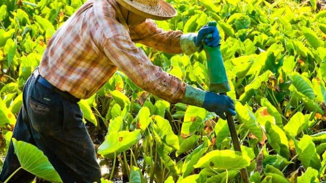 Fermier thaï travaillant dans les champs