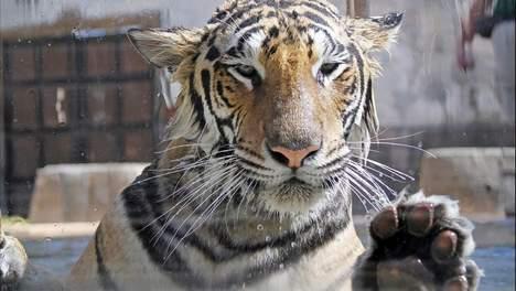 Le trafic de tigres est encore important aujourd'hui