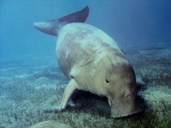 Un dugong à Koh Tarutao