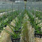 jeunes-orchidees-suspendues