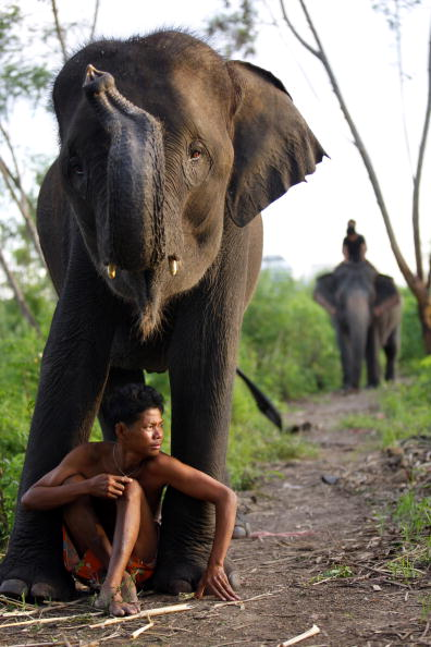 BANGKOK, THAILAND - SEPTEMBER 26: Sangworn, a mahout (elephant driver), sits with his elephant, Bussaba, 13 years old, at his temporary camp September 26, 2008 in Bangkok, Thailand. While the elephant is a symbol of Thailand, it is a fairly common site to see the unemployed and homeless animals roaming the city streets begging for food. The tame elephants dodge the traffic as their mahouts (elephant drivers) sell sugar cane by the bag to tourists who then feed them. Mahouts say that they have little choice but to bring their elephants to cities like Bangkok and Chiang Mai. Thai officials frown upon the practice and have passed laws banning elephants from roadways but the mahouts still come risking fines in order to survive.  Elephants have been big business for the country for centuries but now they are reduced to a major tourist attraction. Elephants are trained to paint, play musical instruments, and even kick soccer balls. In addition there are elephant camps dotted all over Thailand catering to tourists employing up to 650 pachyderms, according to government figures. The Tourism Authority of Thailand says that about 65 percent of tourists will visit an elephant during their stay. Until Thailand banned logging in 1989, many Asian elephants were laborers working in the jungles.  (Photo Paula Bronstein/Getty Images)