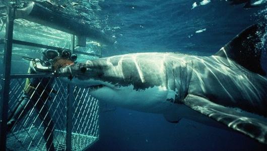 requins blancs afrique du sud
