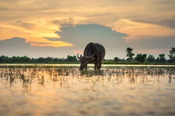 buffle thailande