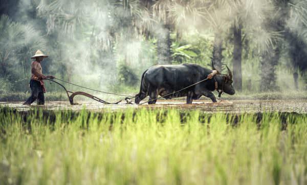 buffle agricole thailande